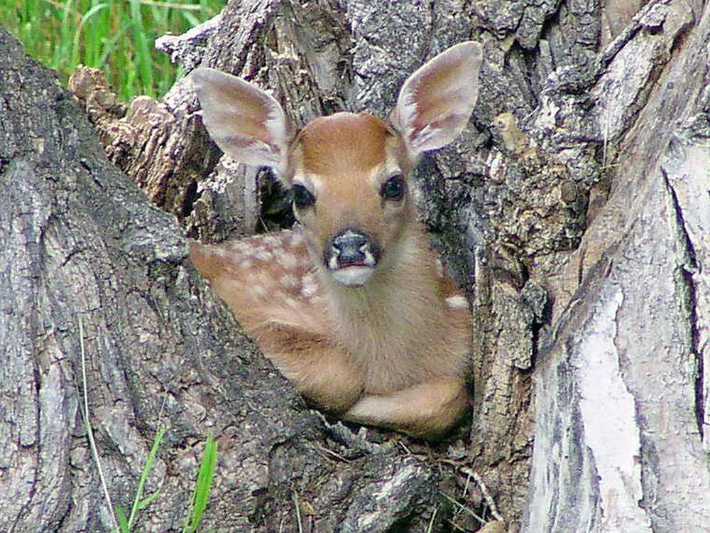 Deer resting in a tree at DEER PARK