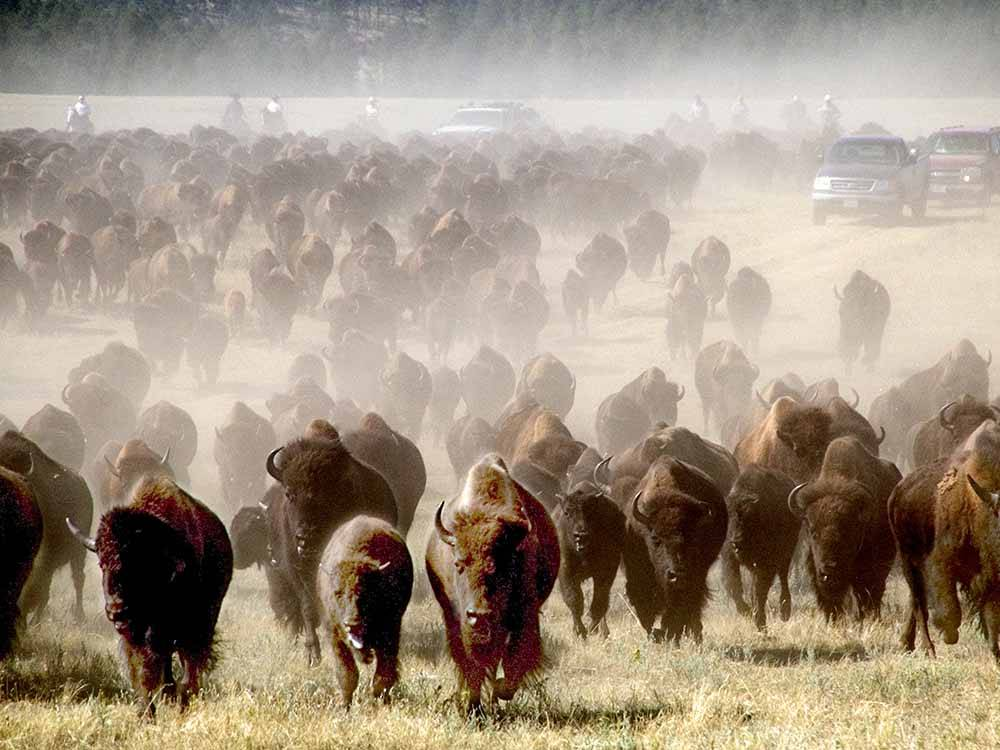 Bison grazing at campground at SOUTH DAKOTA DEPT OF GAME FISH  PARKS