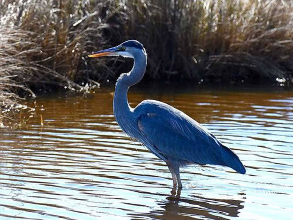A blue heron standing in water at BLUE HERON RV PARK