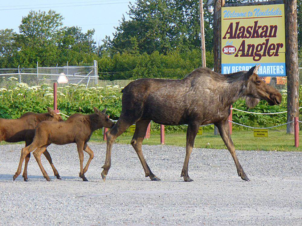 Adult moose with her two young calves at ALASKAN ANGLER RV RESORT  CABINS