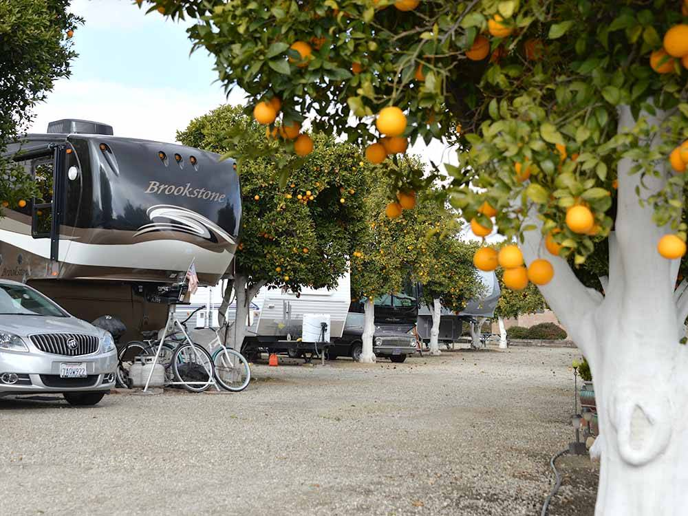 RVs parked among orange trees at ORANGE GROVE RV PARK