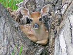 View larger image of Deer resting in a tree at DEER PARK image #10