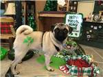View larger image of Pug in the gift shop at BILTMORE RV PARK image #6
