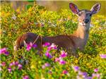 View larger image of A deer in the flowers at BIG PINE KEY  FLORIDAS LOWER KEYS image #10