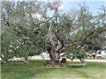 View larger image of A very large tree with a picnic bench underneath at VICTORIA COLETO LAKE RV RESORT image #5