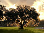 View larger image of Oak tree with Spanish Moss at GRAND OAKS RESORT image #4