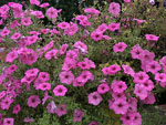 View larger image of Pink flowers at LAKE ROUSSEAU RV  FISHING RESORT image #3