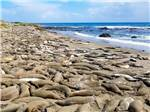 View larger image of A bunch of seals laying on the beach at VISIT SLO CAL - SAN LUIS OBISPO COUNTY image #3