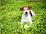 View larger image of Happy beagle sitting with tennis ball in field of clovers at OUTER BANKS WEST KOA image #10