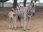 View larger image of A couple of zebras standing around at SHARK TOOTH RV RANCH image #9