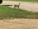 View larger image of A deer on the park grounds at RIVERS EDGE RV PARK AND STABLES image #5