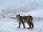 View larger image of Bobcat in the snow at DIAMOND M RANCH RESORT image #5