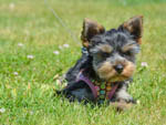 View larger image of Cute small Terrier dog on grass at HOQUIAM RIVER RV PARK image #7