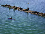 View larger image of A group of seals in the water at RAMBLIN REDWOODS CAMPGROUND image #4
