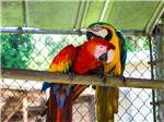 View larger image of Two colorful Macaw parrots at TRAVELERS CAMPGROUND image #11