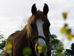 View larger image of Horse at ARTILLERY RIDGE CAMPING RESORT  GETTYSBURG HORSE PARK image #10