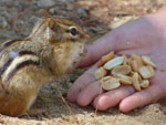 View larger image of Chipmunk at ACRES OF WILDLIFE CAMPGROUND image #3