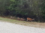 View larger image of Mama deer with baby deer following at WANDERLUST RV PARK image #5