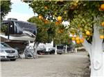 View larger image of RVs parked among orange trees at ORANGE GROVE RV PARK image #1