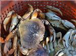 View larger image of Crabs at OCEANSIDE BEACHFRONT RV RESORT image #9