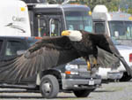 View larger image of Bald Eagle flying in front of motorhomes and cars at EAGLES REST RV PARK  CABINS image #8