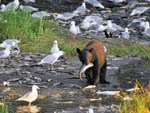 View larger image of Bear with fish at EAGLES REST RV PARK  CABINS image #9