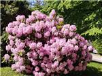 View larger image of Bright pink blooming flowered bush at COTTONWOOD MEADOWS RV COUNTRY CLUB image #6