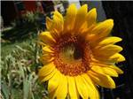View larger image of Sunflower at BIG RED BARN RV PARK image #8