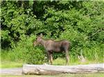View larger image of A moose grazing on foliage at ANCHORAGE SHIP CREEK RV PARK image #3
