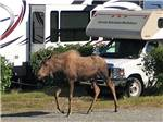 View larger image of A moose walking through the campground at ANCHORAGE SHIP CREEK RV PARK image #6