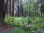 View larger image of Greenery in Redwoods at EMERALD FOREST CABINS  RV image #5