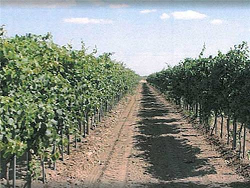 A vineyard for a winery in Deming