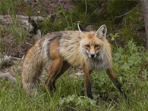 Some of our forest neighbors show themselves from time to time as this beautiful Red Fox does.