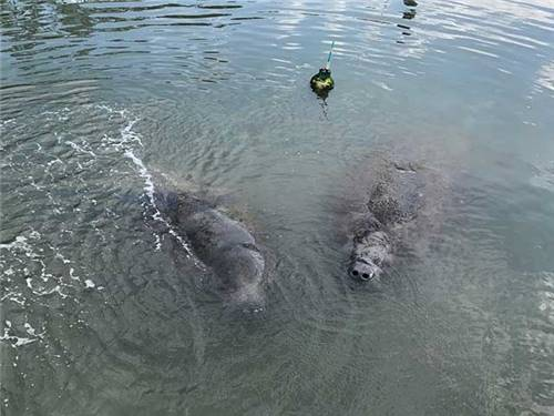 Our Summer Manatee Visitors